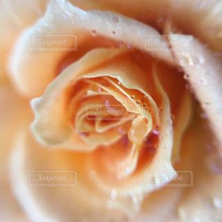 バラのしずくの写真・画像素材[826337]