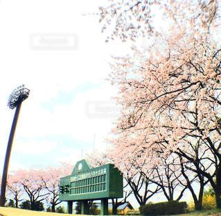 野球場にさく桜の写真・画像素材[1074206]