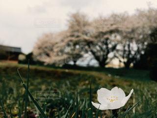 桜の写真・画像素材[1074207]