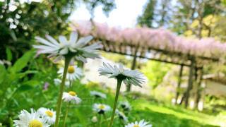 白い花の写真・画像素材[2255496]
