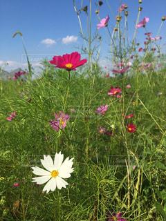 凧の飛行フィールドのカラフルな花のグループの写真・画像素材[796174]