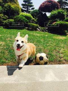 お庭でサッカーしている愛犬の写真・画像素材[800814]