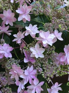 紫陽花の写真・画像素材[1194399]