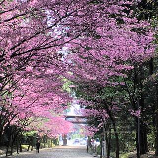 近江神宮参道の桜の写真・画像素材[798610]