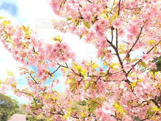 桜の写真・画像素材[804750]