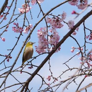 桜とメジロ - No.804820