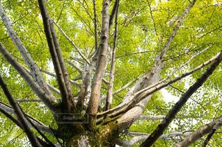 イチョウの木の写真・画像素材[822950]