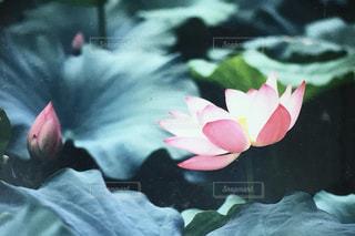 蓮の花の写真・画像素材[798357]