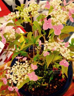 紫陽花の盆栽の写真・画像素材[799127]