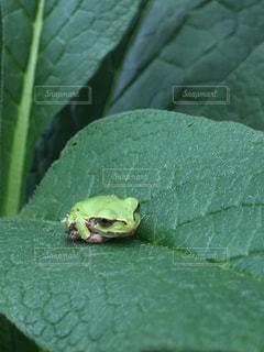 葉の上で休憩中のカエル🐸の写真・画像素材[813563]