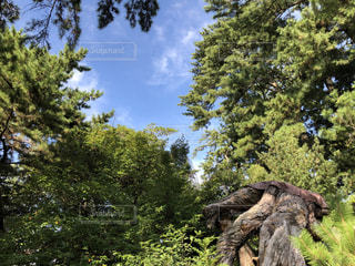 森の大きな木の写真・画像素材[800220]