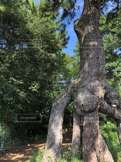 森の大きな木の写真・画像素材[800221]