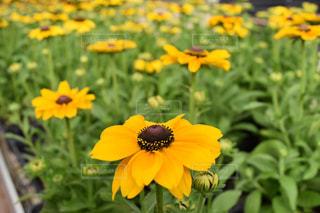 黄色の花の写真・画像素材[800407]