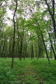 森の中の大きな緑の木の写真・画像素材[3537708]