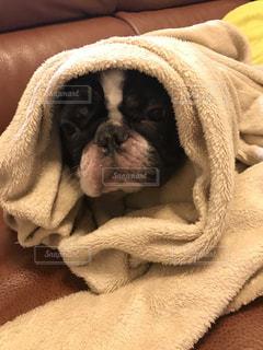 毛布にくるまるぶーちゃんの写真・画像素材[804676]