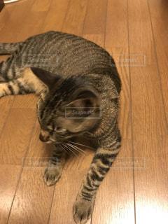 ぐーたらネコの写真・画像素材[802375]
