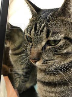 カメラを見ている猫の写真・画像素材[870616]