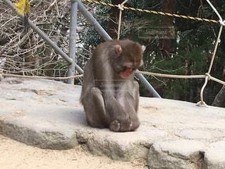 フェンスの上に座っている猿の写真・画像素材[801773]