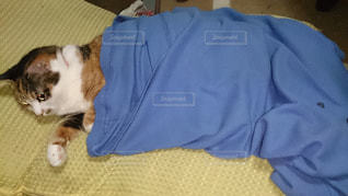青い毛布と三毛猫の写真・画像素材[802112]
