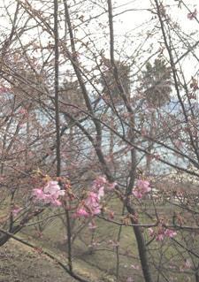 ピンクの花の木の写真・画像素材[802881]