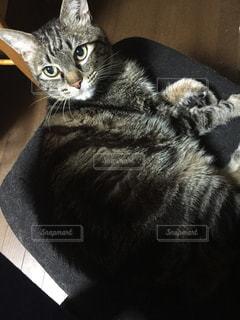 横になって、カメラを見ている猫の写真・画像素材[803537]