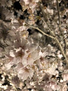 桜のライトアップの写真・画像素材[1203868]