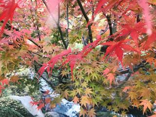 東京の紅葉の写真・画像素材[890296]