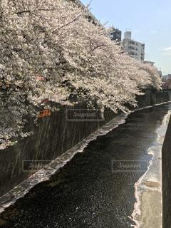 目黒川の桜の写真・画像素材[803973]