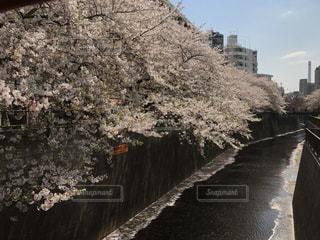 目黒川の桜の写真・画像素材[803974]