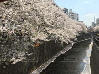 目黒川の桜の写真・画像素材[803976]