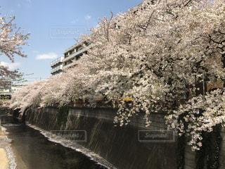目黒川の桜の写真・画像素材[803978]