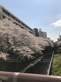 目黒川の桜の写真・画像素材[804000]