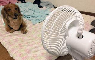 扇風機と犬の写真・画像素材[803875]