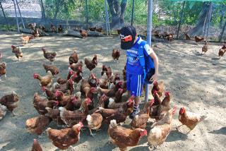 鶏に囲まれる少年の写真・画像素材[809334]