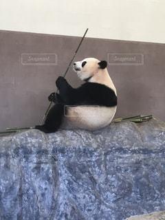 ササのじくを眺めるパンダの写真・画像素材[815926]