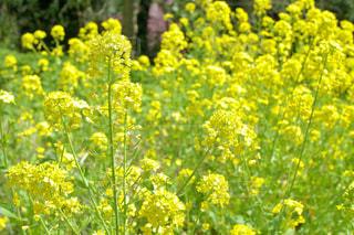 フィールド内の黄色の花の写真・画像素材[1081924]