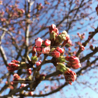 桜の写真・画像素材[574221]