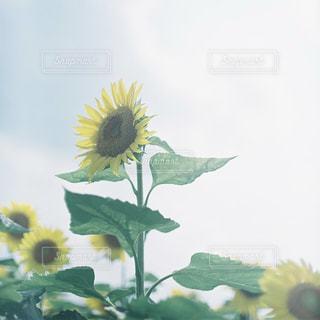 黄色の花の写真・画像素材[1000357]