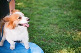 草の中に座っている茶色と白犬の写真・画像素材[1015683]