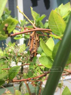 ★ブルーベリーの木とミノムシ★の写真・画像素材[807048]