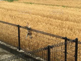 ★黄金畑と黄金猫★の写真・画像素材[808467]