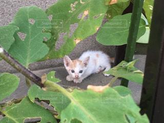 ★カボチャの葉越しに子猫★の写真・画像素材[808470]