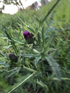 緑に輝く紫のあざみの写真・画像素材[3077536]