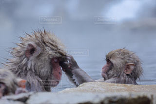 近くに猿のアップの写真・画像素材[826532]