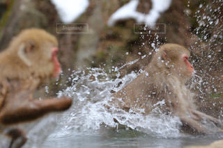 温泉のお湯を掛け合う猿の親子の写真・画像素材[826534]
