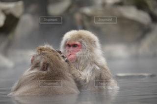 近くに猿のアップの写真・画像素材[826537]