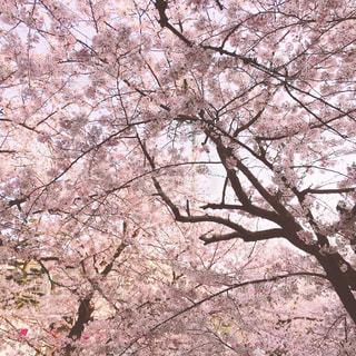 一面の桜 - No.807663