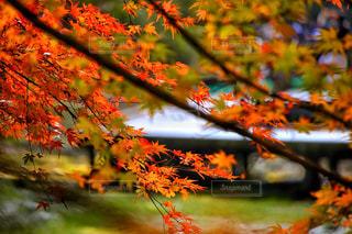 養老渓谷の紅葉の写真・画像素材[807866]