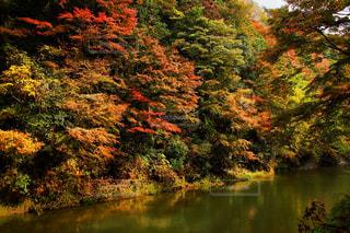 養老渓谷の紅葉の写真・画像素材[807871]