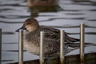 水鳥の写真・画像素材[937999]
